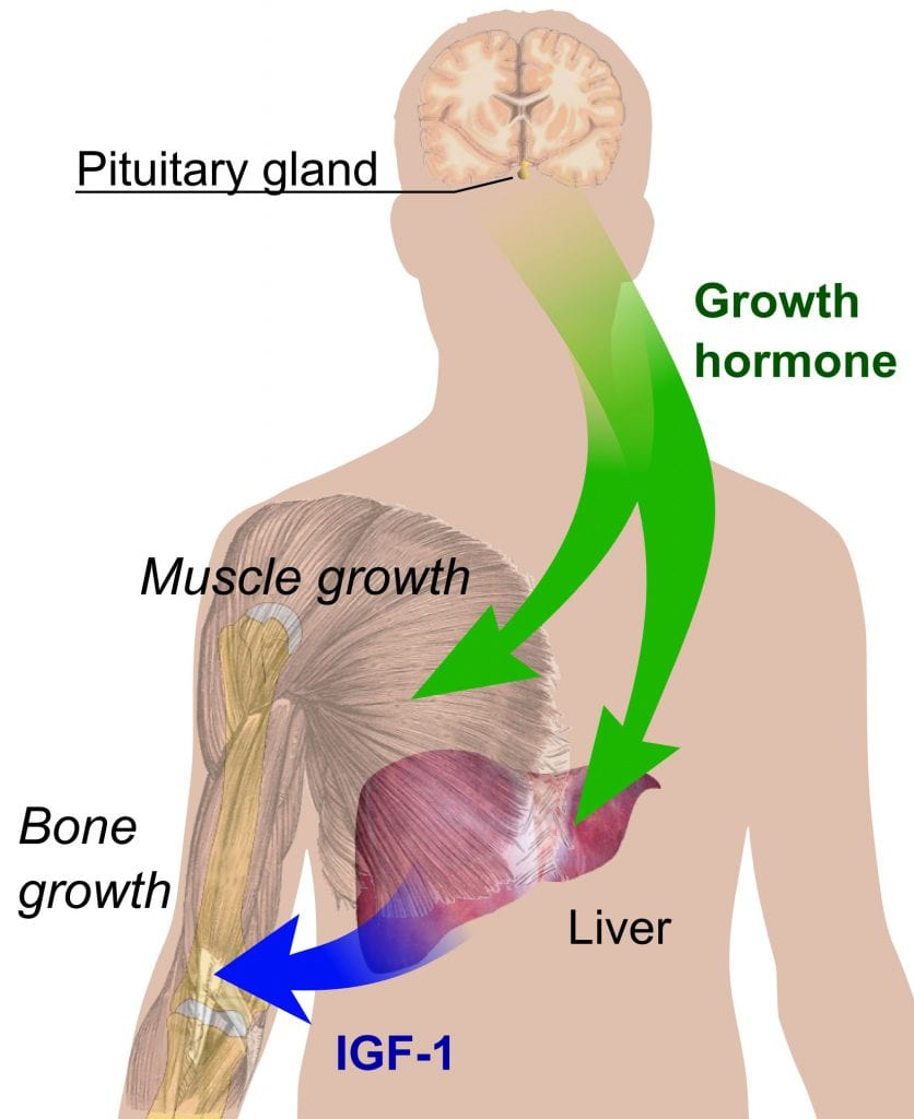 How HGH works in the body