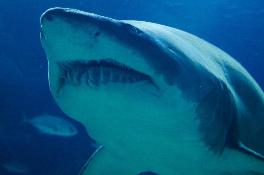 Shark Tant